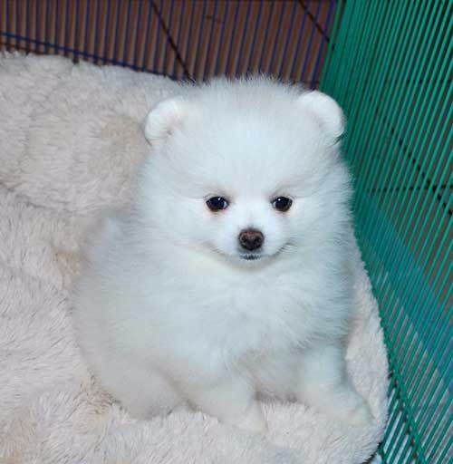 pomeranian rescue oregon pomeranian for sale in coos county petzlover 7402