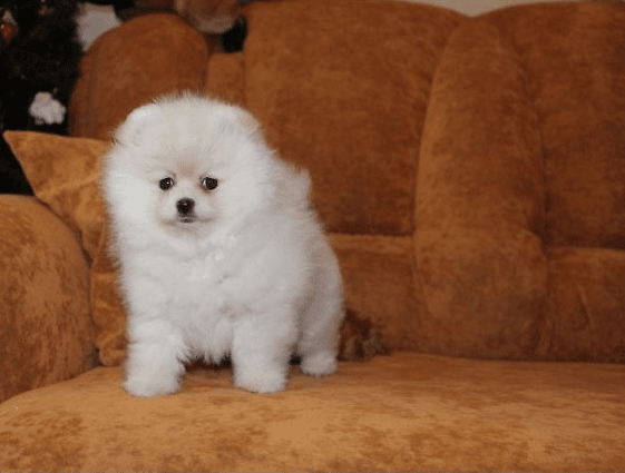 pomeranian puppies for sale in orange county pomeranian puppies for sale orlando fl 234399 9082