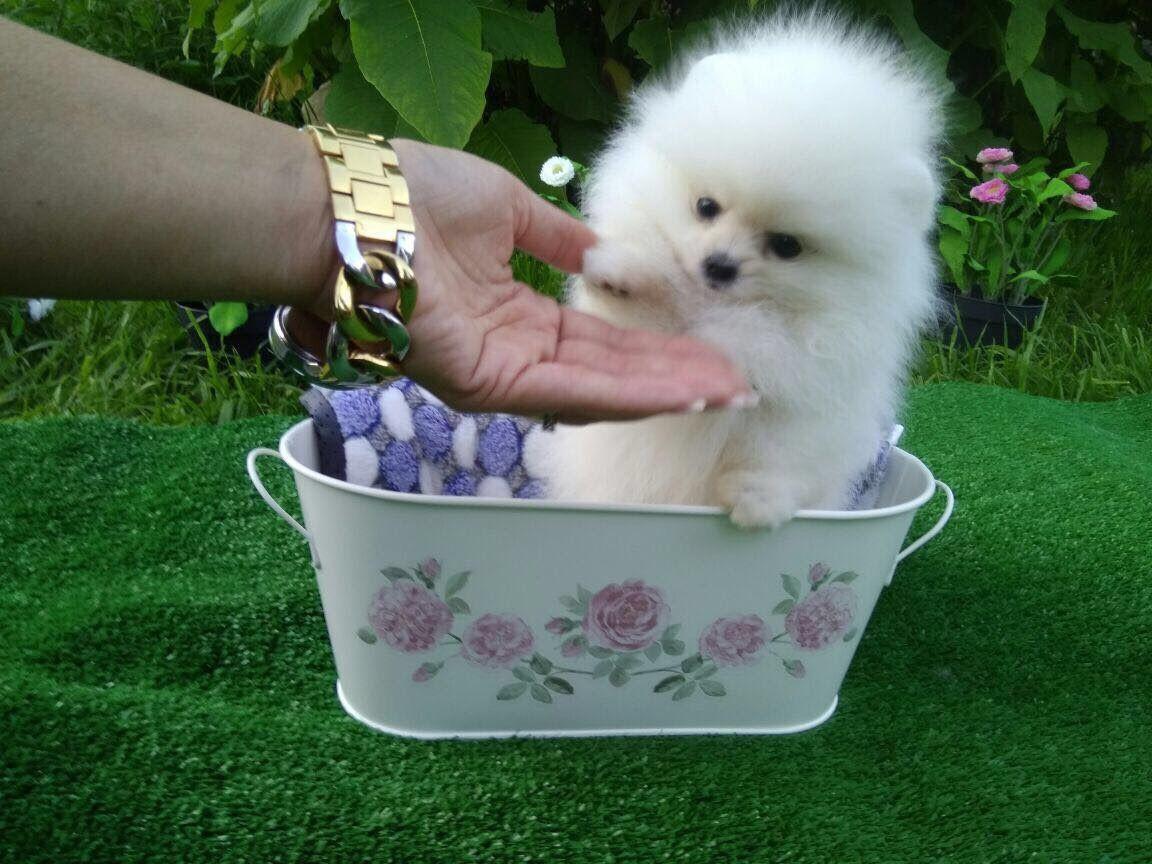 Pomeranian Puppies For Sale Marble Falls Dallas Tx 238329