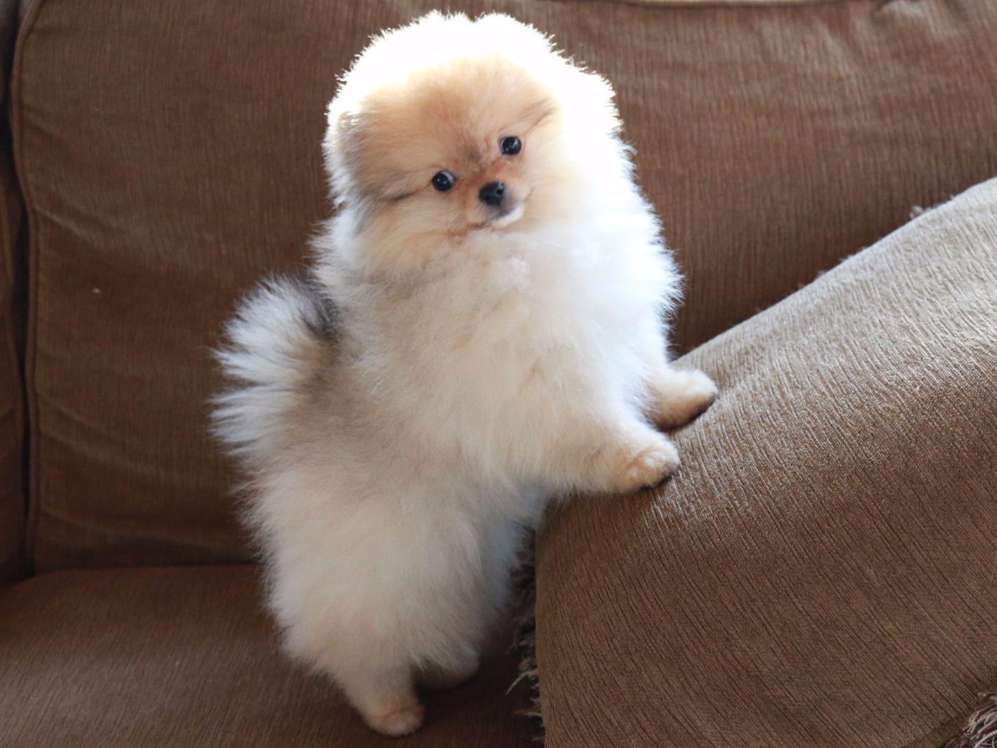 Pomeranian Puppies For Sale Memphis Tn 240999