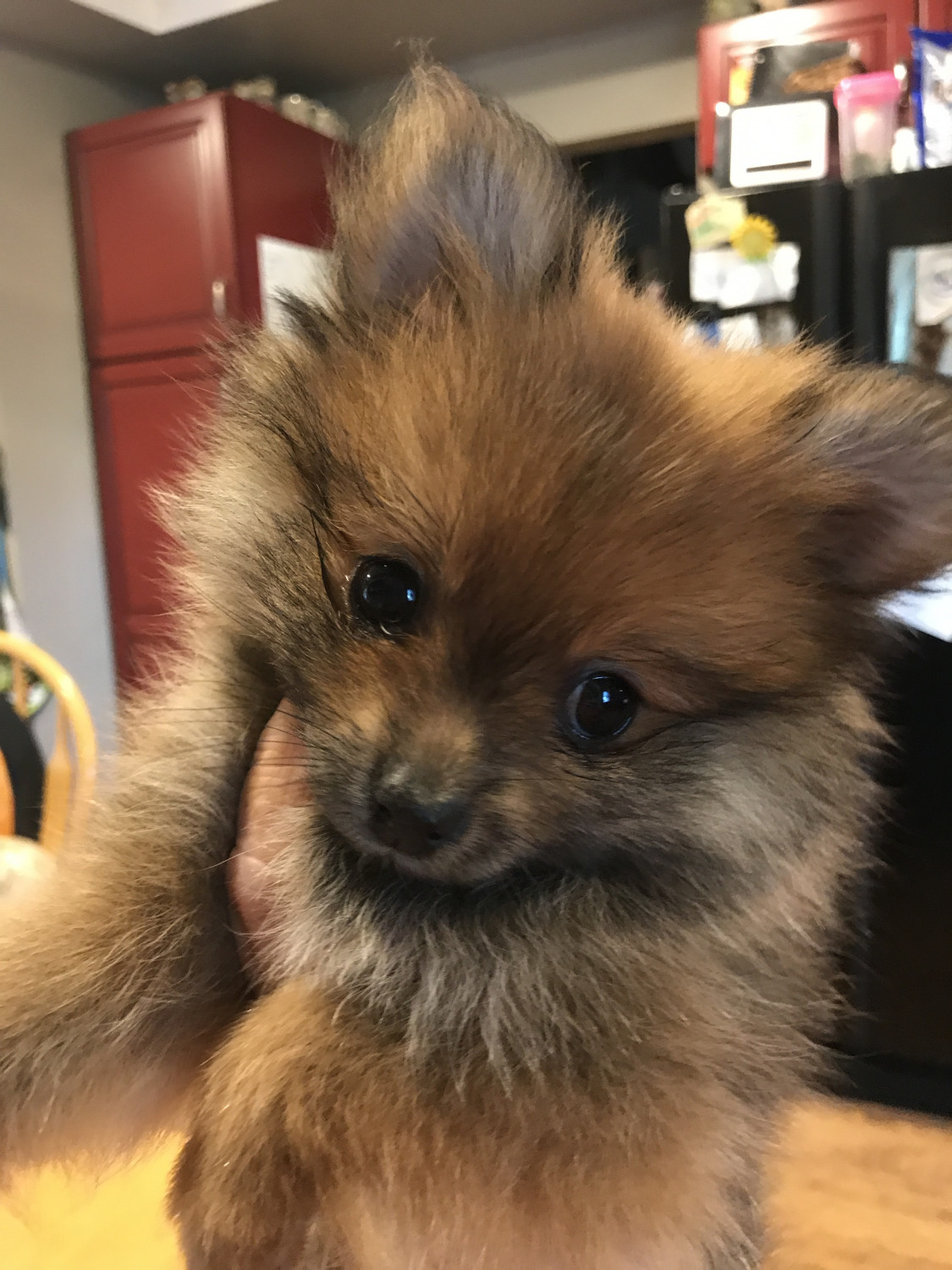 Pomeranian Puppies: Cute Pictures And Facts - Dogtime |Pom Puppies