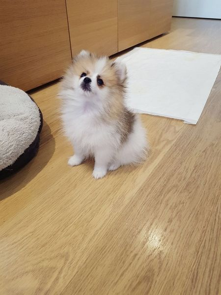 Pomeranian Puppies For Sale Capleville Tn 244299