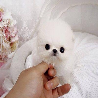 Pomeranian Puppies For Sale Atlanta Ga 244644