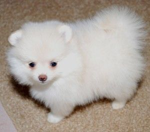 pomeranian breeders ma pomeranian puppies for sale worcester ma 245638 5202