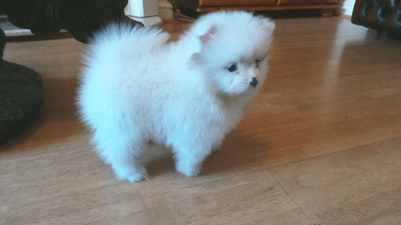 Pomeranian Puppies For Saint Petersburg Fl 247111
