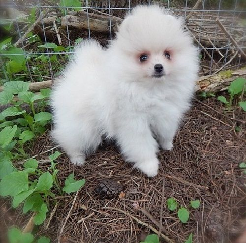 pomeranian california pomeranian puppies for sale california 130 ca 248496 4168