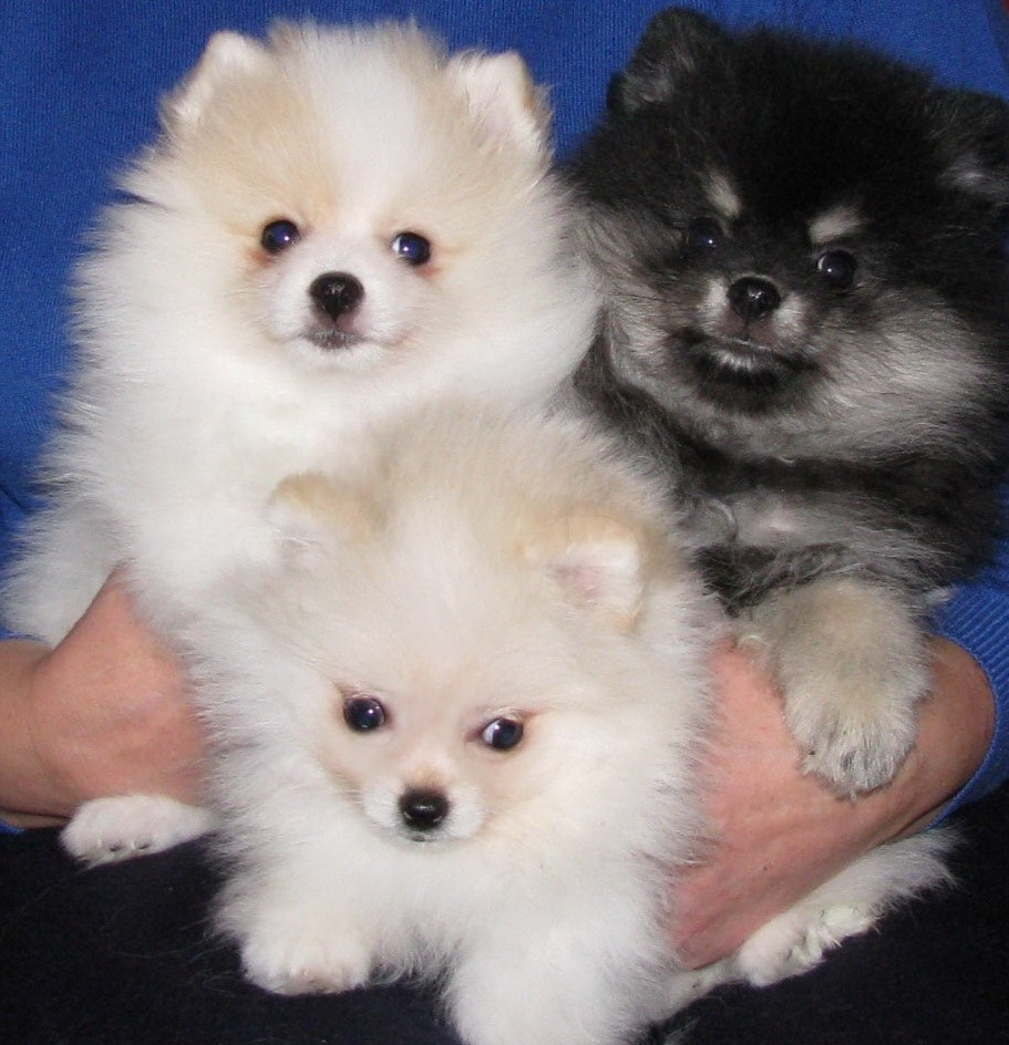 Puppy World: Cute Pomeranian Puppy Pictures |Pom Puppies
