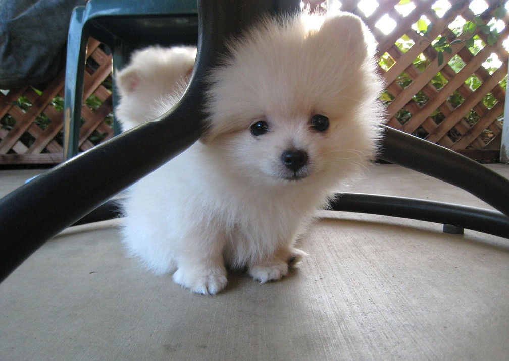 pomeranian puppies for sale in washington pomeranian puppies for sale seattle wa 254752 1111