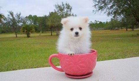 teacup pomeranian for sale in ky pomeranian puppies for sale mackville harrodsburg road 4542
