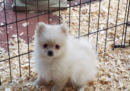 Pomeranian Puppies For Sale | Independence, MO #255909