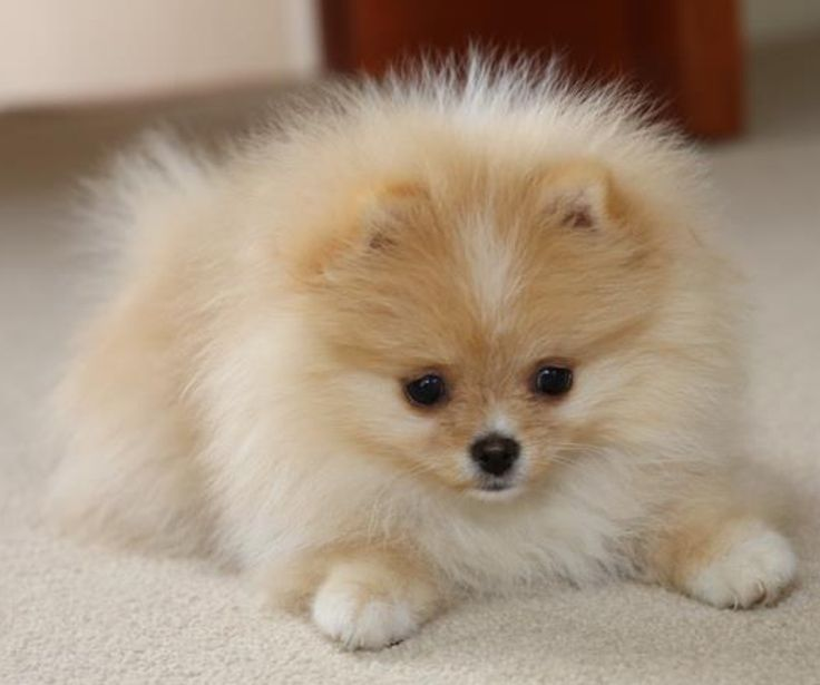 pomeranian puppies orlando pomeranian puppies for sale kissimmee vineland road fl 7362