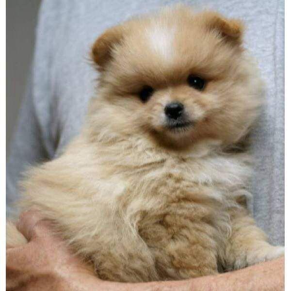 Pomeranian Puppies For Sale   Spruce Street, CO #256341