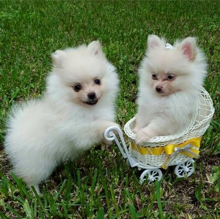 pomeranian breeders michigan pomeranian puppies for sale michigan avenue mi 258099 7120