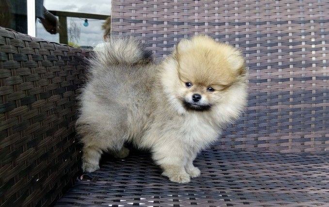 pomeranian california pomeranian puppies for sale california street ca 258463 3623