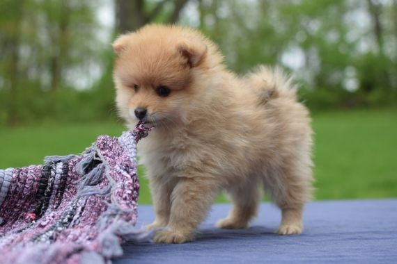 pomeranian puppy chicago pomeranian puppies for sale chicago il 259192 7690