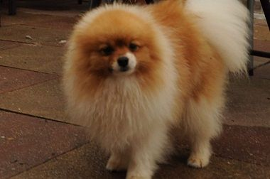 pomeranian puppy chicago pomeranian puppies for sale chicago il 259798 7594