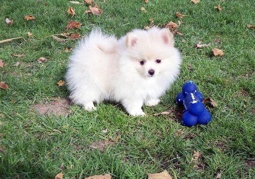 Pomeranian Puppies For Sale Houston Tx 260000