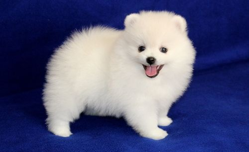 teacup pomeranian for sale in ky pomeranian for sale in jefferson county petzlover 2294