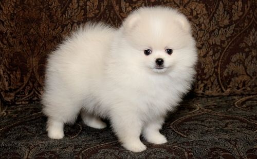 teacup pomeranian for sale in ky pomeranian puppies for sale louisville ky 260425 7573