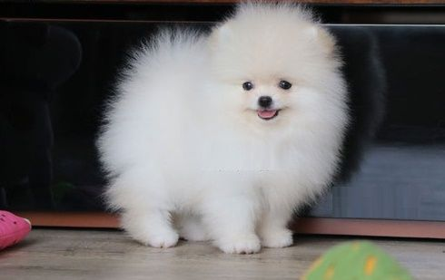 teacup pomeranian for sale in ky pomeranian puppies for sale louisville ky 260425 3920