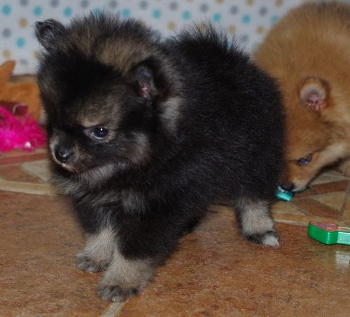teacup pomeranian for sale in ky pomeranian puppies for sale louisville ky 260425 9274