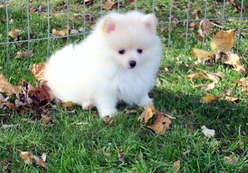 Pomeranian Puppies For Sale Houston Tx 261036