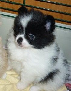 Pomeranian Puppies For Sale Florida City Fl 265358
