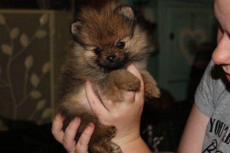 Pomeranian Puppies For Sale Dallas Tx 266515 Petzlover