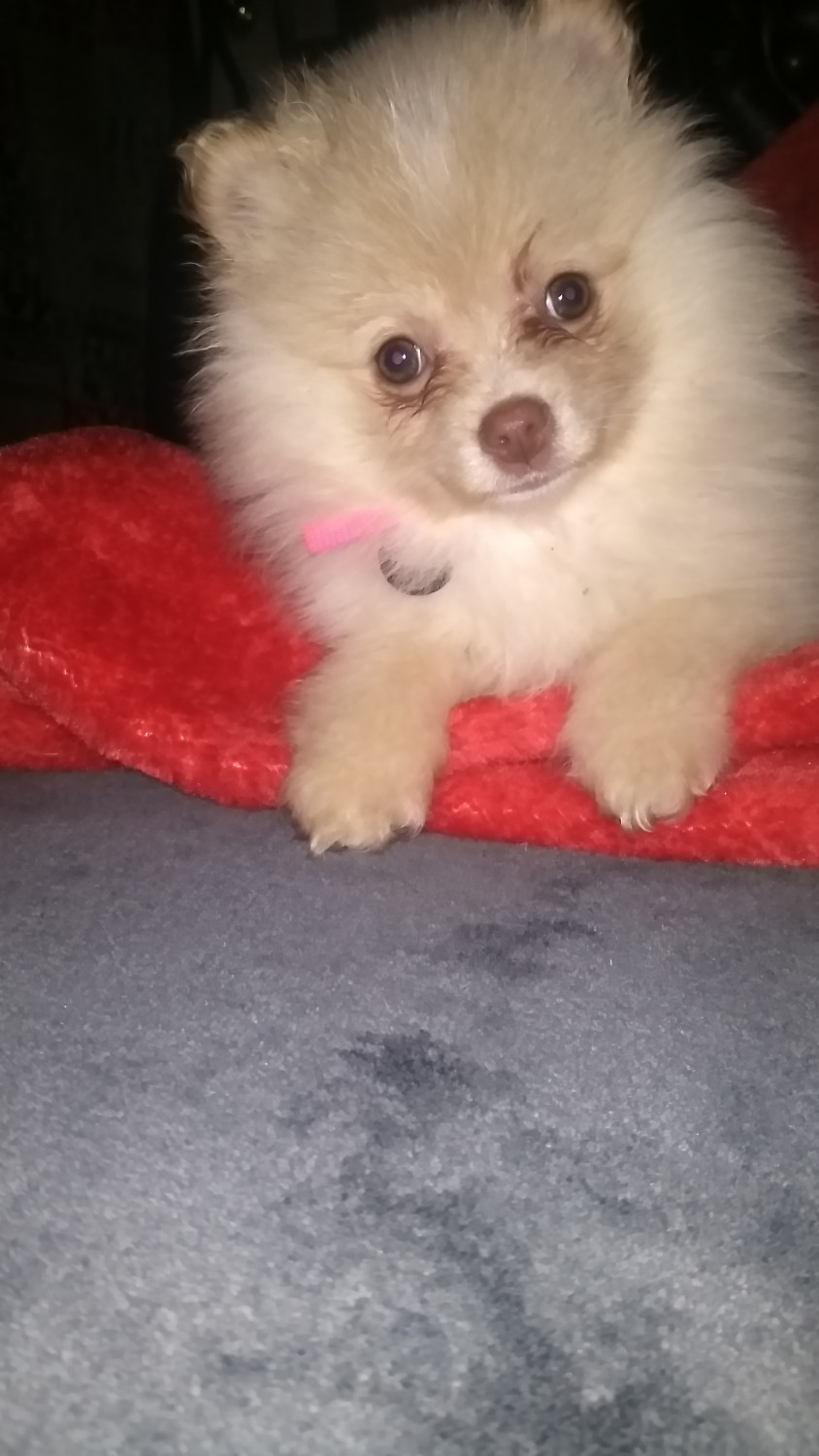 Pomeranian Puppies For Sale Cookeville Tn 266892
