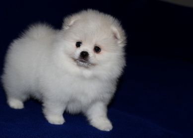 pomeranian breeders michigan pomeranian puppies for sale grand rapids mi 267795 6360
