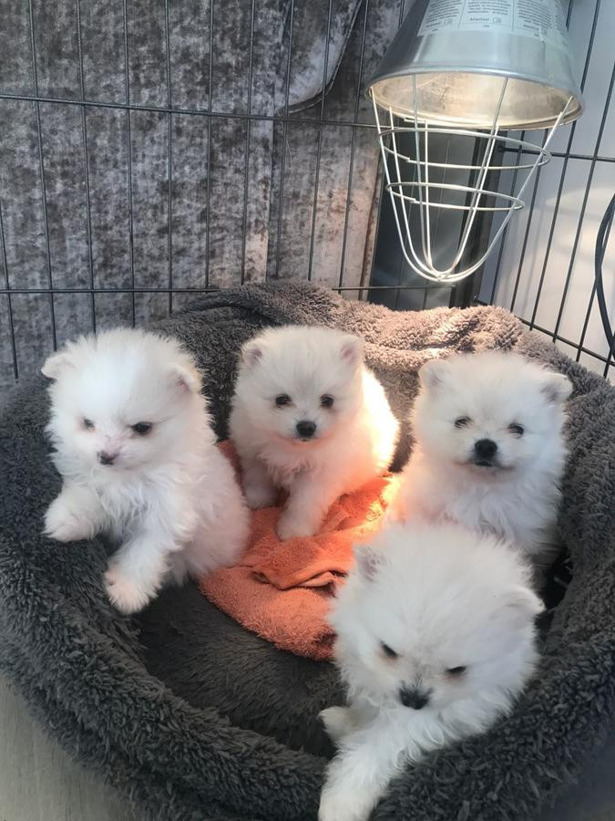 pomeranian san diego pomeranian puppies for sale san diego ca 268079 4320