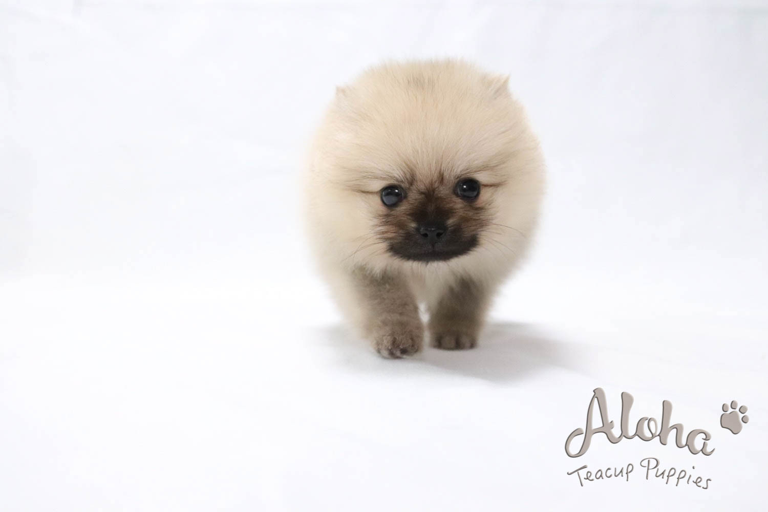 Pomeranian Puppies For Sale New York Ny 268169