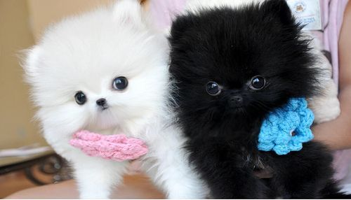 white pomeranian puppies price pomeranian puppies for sale killeen tx 268480 5413