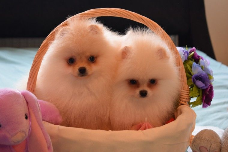 pomeranian puppies for sale in alabama pomeranian puppies for sale birmingham al 271431 3691