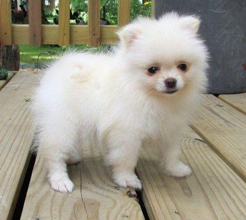 Pomeranian Puppies For Sale Dallas Tx 272405 Petzlover