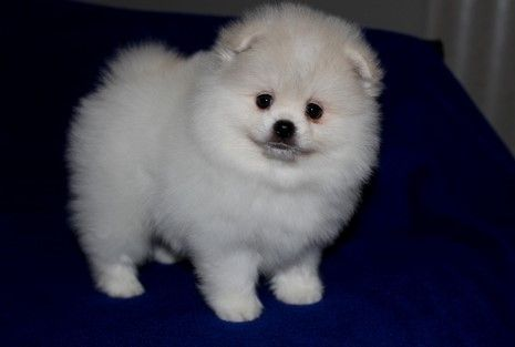pomeranian breeders va pomeranian puppies for sale virginia beach va 272770 6216