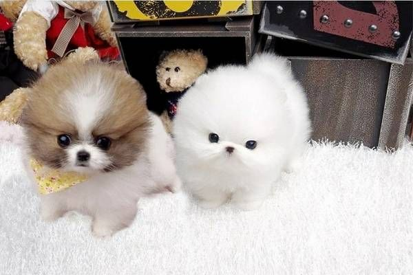 pomeranian california pomeranian puppies for sale california street ca 273058 919