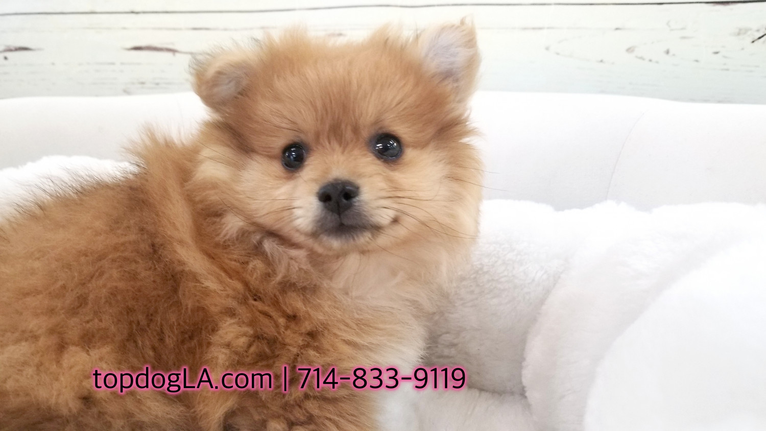 pomeranian puppies for sale in orange county pomeranian puppies for sale orange county ca 273267 9343