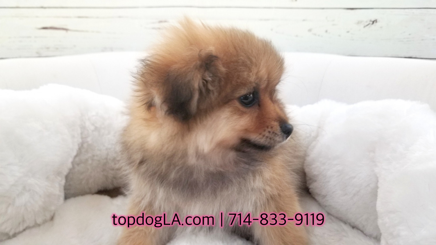 pomeranian puppies for sale in orange county pomeranian puppies for sale orange county ca 273268 5182
