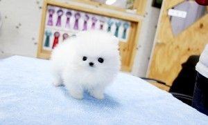 Pomeranian Puppies For Sale | Houston, TX #275708