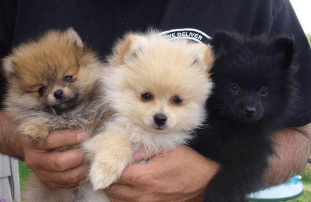 Pomeranian Puppies For Sale Oklahoma City Ok 275872