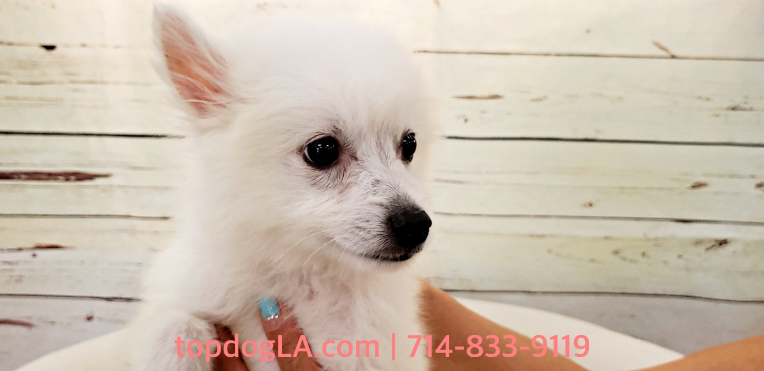 pomeranian puppies for sale in orange county pomeranian puppies for sale orange county ca 277398 7094