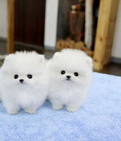 pomeranian puppies for sale in alabama pomeranian puppies for sale alabaster al 279808 3369