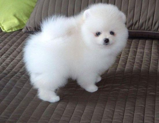 pomeranian puppies for sale in washington pomeranian puppies for sale bellevue wa 281399 8387