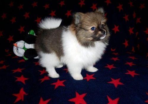 Pomeranian Puppies For Sale Houston Tx 282130