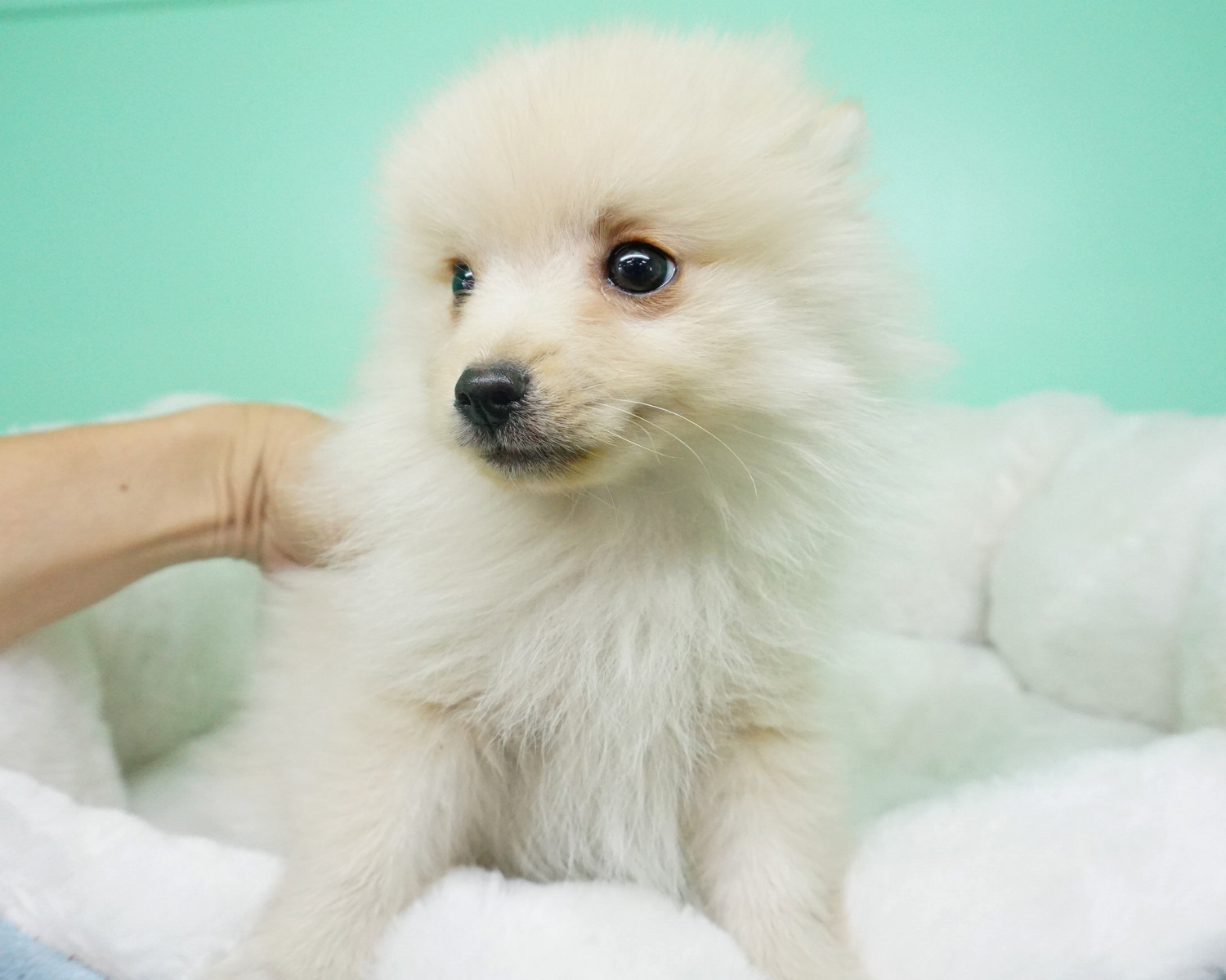pomeranian puppies for sale in orange county pomeranian puppies for sale orange county ca 284619 2996