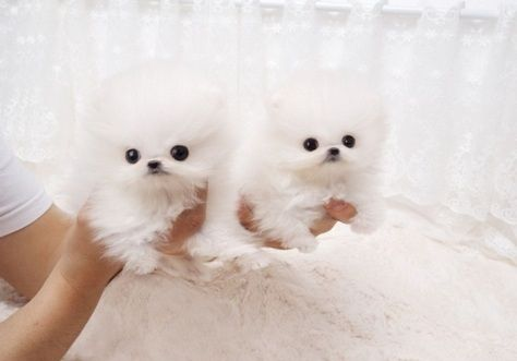Pomeranian Puppies For Sale Charlotte Nc 286504