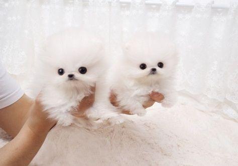 Pomeranian Puppies For Sale Houston Tx 287339