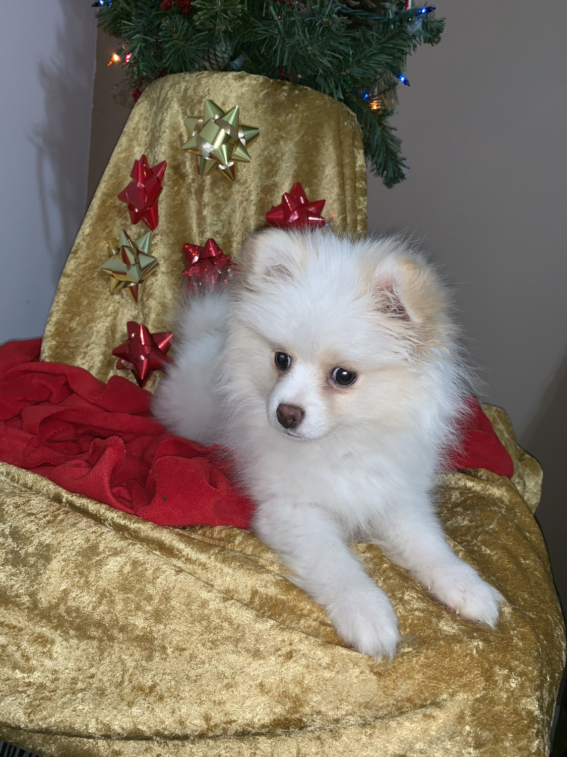 pomeranian puppies for sale in alabama pomeranian puppies for sale huntsville al 287897 2537