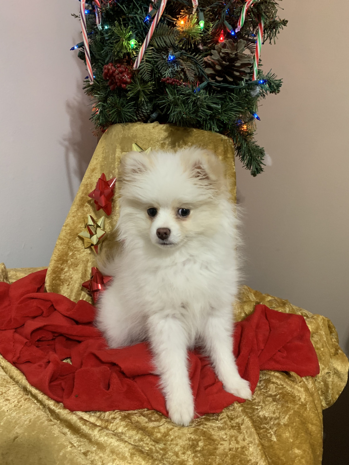 pomeranian puppies for sale in alabama pomeranian puppies for sale huntsville al 287897 563